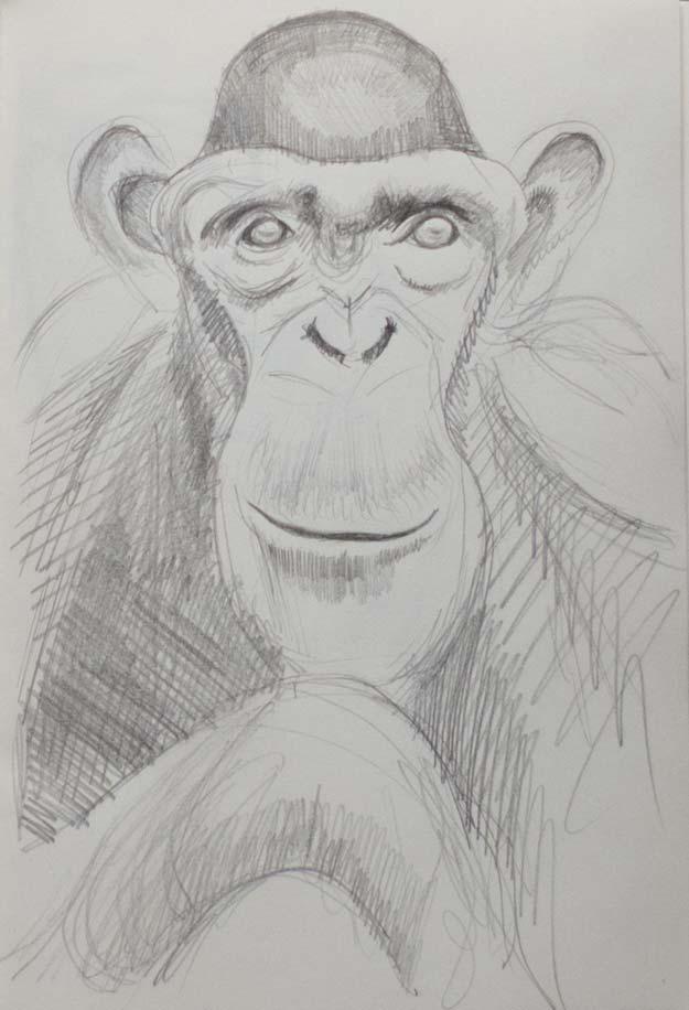 chimpanzee_9664